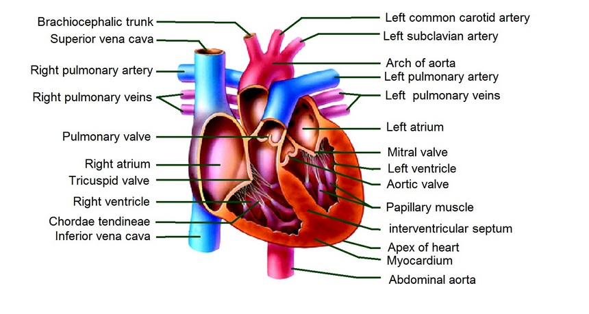 cardiac mri protocols, planning and techniques | positioning for ...